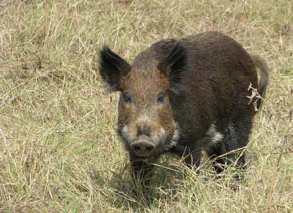 Washington wildlife officials want people to be on the lookout for feral pigs.