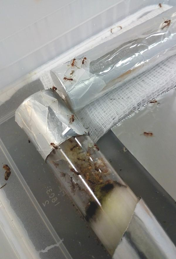 ANGELICA A. MORRISON  / Ants used for a climate change study at Buffalo State College, November 2016