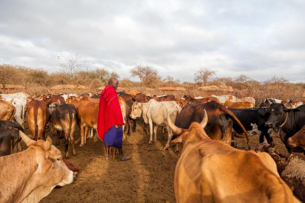A Maasai elder tends to his cattle.