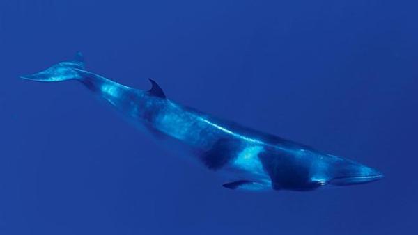 <p>A dwarf minke whale</p>