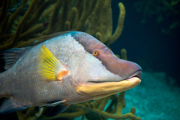 Bottom-feeding fish, like this hogfish, are known vectors for ciguatera.