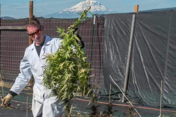 <p>With a snow capped Mount Adams behind him, JV Ranch owner Jonathan Vanella works on the 2016 season harvest. This is Vanella'sfirst crop to receive a third-party organically grown certification.</p>