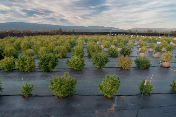 <p>Evening light washes over the fields of JV Ranch. Johnny Vanella grows most of his cannabis outdoors, where temperature fluctuations and wind drive away bugs that can plague controlled indoor grow rooms. Growing outdoors also means Vanella uses sunlight instead of energy-demanding lightbulbs.</p>