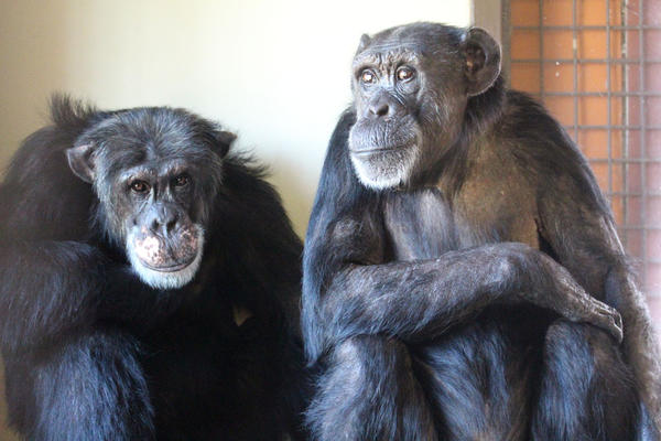 The chimps at Chimpanzee Sanctuary Northwest outside Cle Elum, Washington, are nervous and are grooming each other while watching the helicopters outside.