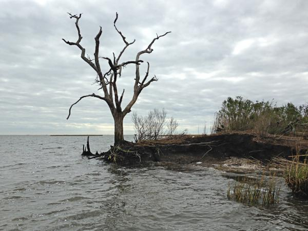 Louisiana is losing its coast faster than any other place in the world. As land disappears and the water creeps inland, ancient archaeology sites are washing away. The roots of a dead oak tree at the edge of an ancient Native American mound are all that hold the land together.