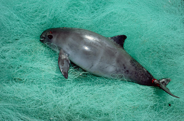 A vaquita caught as by-catch in Baja California, Mexico. Accidental entanglement in fishing gear is one of the biggest threat to this species, which is down to only 60 animals.