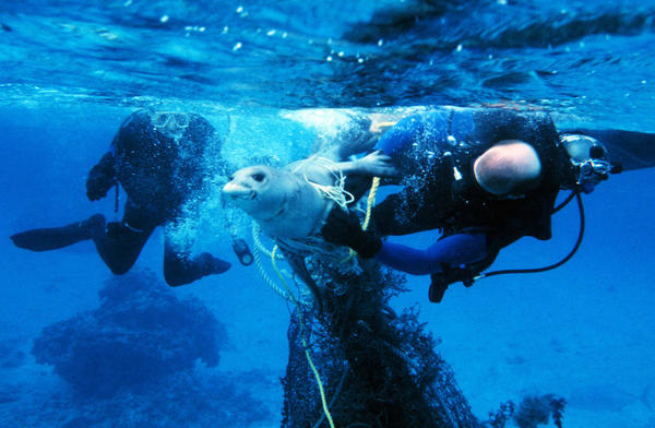 Divers release a seal from fishing gear. Getting entangled in active or abandoned fishing gear often leads to injury or death in marine mammals.