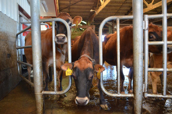 <p>Cows at a dairy farm in Whatcom County, Washington.</p>