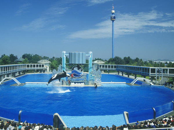 An orca leaps out of the water at Shamu Stadium at SeaWorld San Diego.