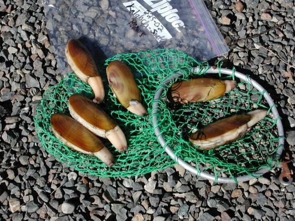 <p>Razor clams are particularly susceptible to toxic domoic acid accumulation.</p>