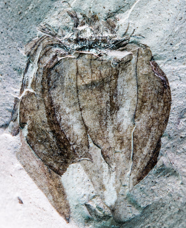 This ancient tomatillo fossil displays characteristic papery, lobed husk and vein details.