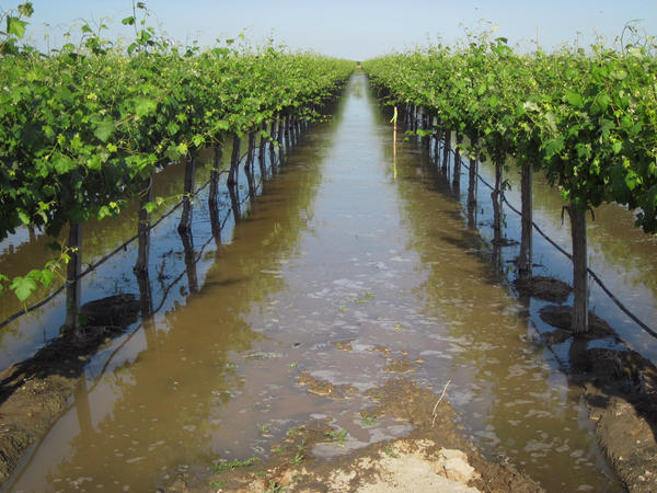 Don Cameron, general manager of Terranova Ranch, flooded his grapevines with floodwaters from a branch of King's River, southwest of Fresno, Calif.