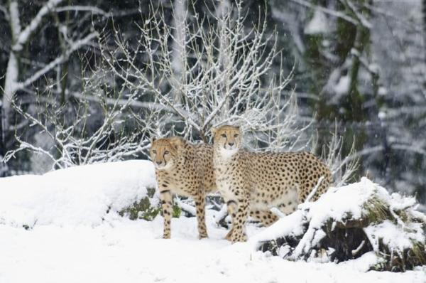 <p>The Oregon Zoo is closed due to the amount snow. Apparently the cheetahs didn't get the notice.</p>