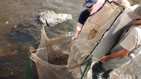 Biologists take two passes at catching the fish. The first pass captures significantly more fish. The fish that are collected are stored in a holding pen until they are weighed, measured and counted, before being released.