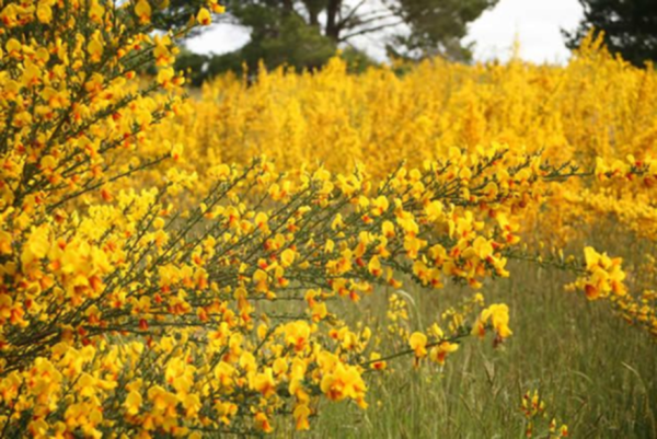 """<p><span style=""""font-family: Arial, Helvetica, sans-serif; font-size: 13px;"""">Scotch broom, which is toxic to cattle, quickly forms dense stands that displace young trees and native plants.</span></p>"""