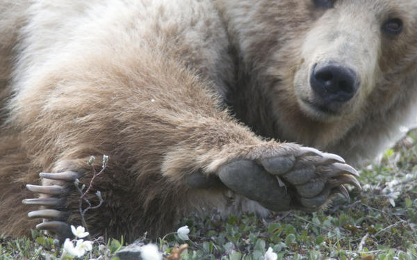 File photo. Federal officials have unveiled a draft plan to reintroduce grizzlies in North Central Washington state.