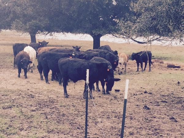 Cattle grazing at Guidry Brangus Farms in Vermilion Parish.