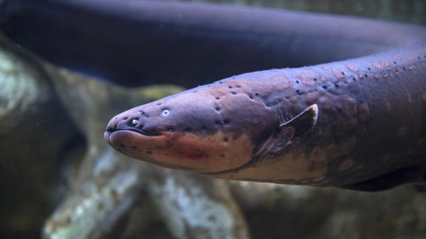 A 6-foot-long electric eel is basically a 6-inch fish attached to a 5-1/2-foot cattle prod, researchers say. The long tail is packed with special cells that pump electricity without shocking the fish.