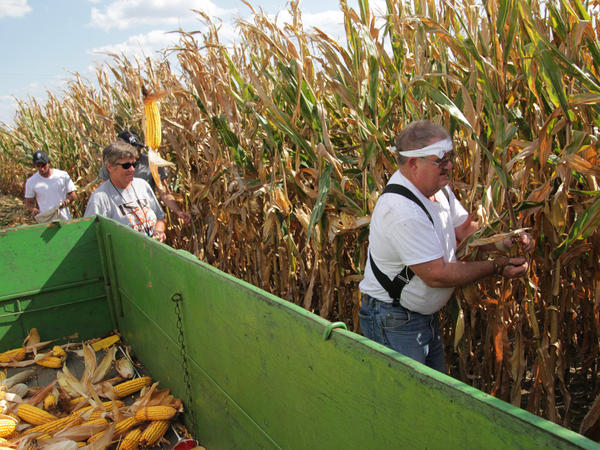 Dick Humes, president of the Illinois Corn Husking Club, competes in the men's 50-and-older competition