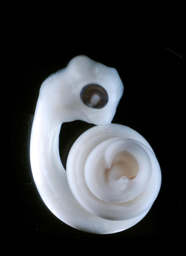 A python embryo turns its leg cells into a pair of penises. Researchers now believe that signals from the embryonic gut trigger the development of the penis in many different species.