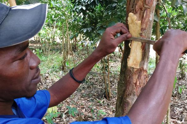 A spice farmer on the island of Zanzibar off the coast of Tanzania shaves off bark of the cinnamon tree.