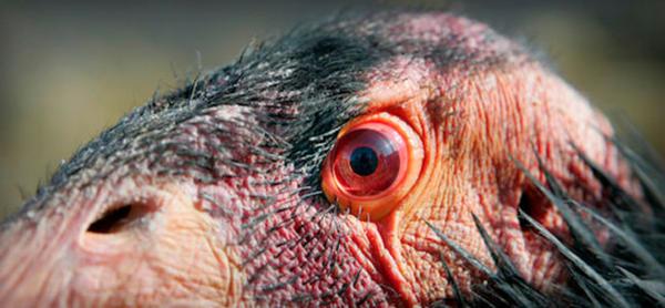 <p>California Condor</p>