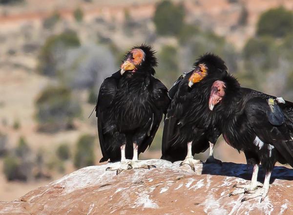 <p><em><strong></strong></em>California Condor</p>