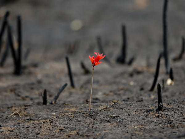 A flower shoots through a landscape razed by wildfires in Cauquenes, Chile, on Feb. 2. Chile's president has lifted a state of emergency and says the wildfires that destroyed large swaths of the country are mostly under control.