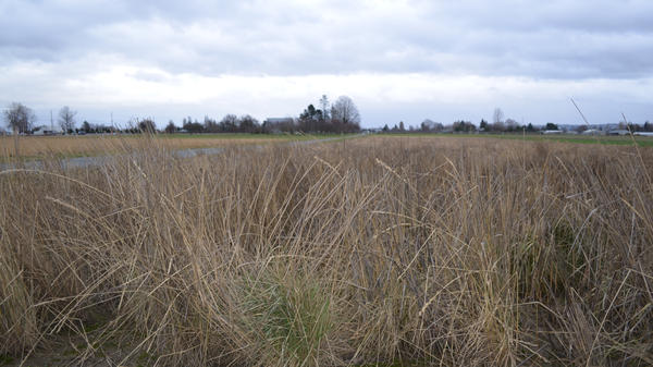 Green tips of of a newly developed grain called Salish Blue are poking through older, dead stalks in Washington's Skagit Valley.