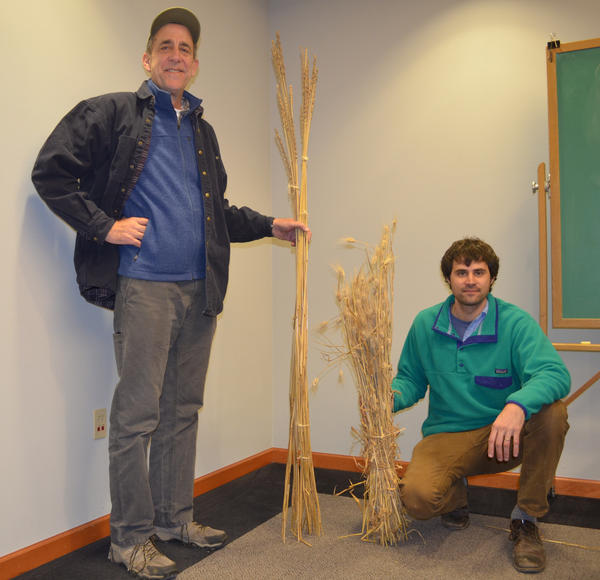 Steven Jones (left) and Colin Curwen-McAdams compare the tall stalks of Salish Blue with conventional wheat stalks.