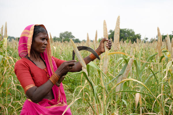 A woman farmers harvests pearl millet in Andhra Pradesh, India. Millets were once a steady part of Indians' diets until the Green Revolution, which encouraged farmers to grow wheat and rice. Now, the grains are slowly making a comeback.