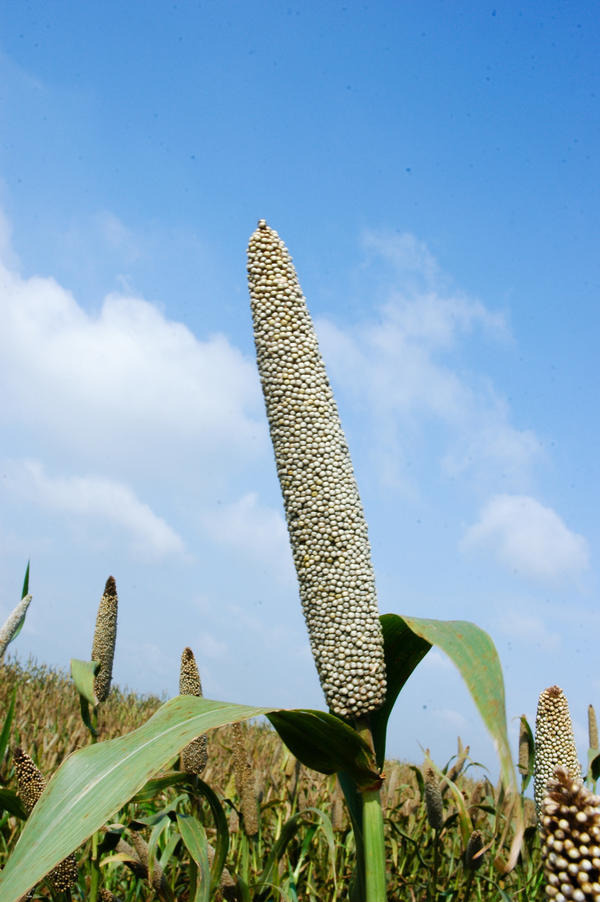 Pearl millet ear head.