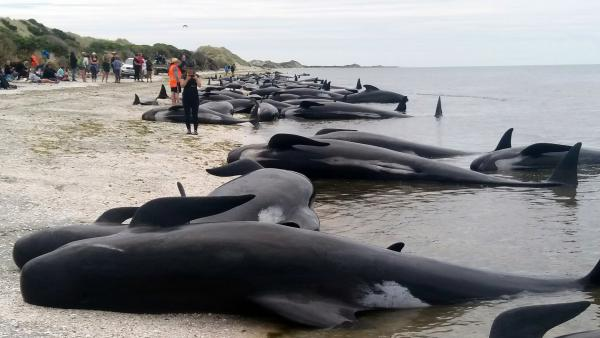 Volunteers try to save about 100 pilot whales after more than 400 of them were stranded at Farewell Spit near Nelson, New Zealand, on Friday.