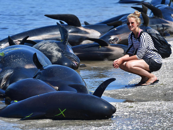 A bystander looks at a row of dead pilot whales after the mass stranding at Farewell Spit, on New Zealand's South Island, on Saturday.