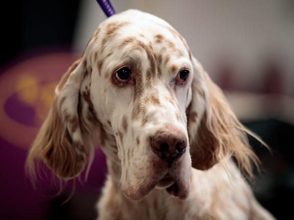 Tommy, an English setter, looks on backstage on the final night of the Westminster Kennel Club Dog Show in New York City.