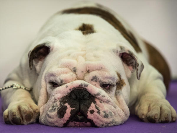 A bulldog rests before stepping into the spotlight. Two-hundred different breeds or varieties took part in the competition.