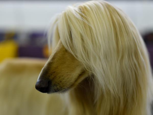 An Afghan hound stays in the benching area during Day One of the Westminster Kennel Club on Monday.