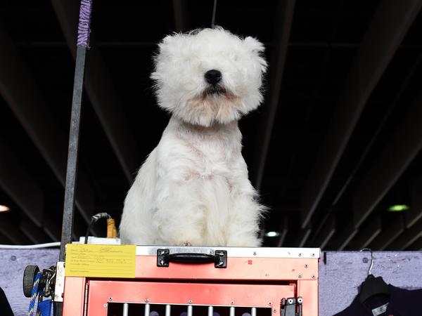 A West Highland white terrier surveys all the land (it assumes) it owns. The confident breed takes even its grooming with aplomb.