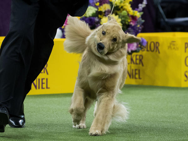 A golden retriever attempts to maintain composure, cheeks flopping to and fro, as it trots for the judge's appraisal.