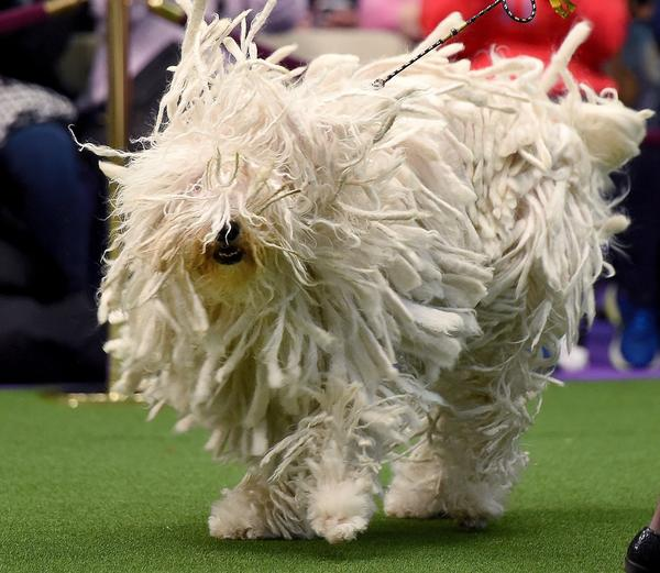 "Komondor, also known as ""BettyBoop,"" moves through the judging area during Day Two of the competition. Insert gratuitous mop joke here."