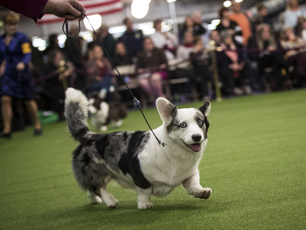 A Cardigan Welsh corgi runs during the competition, flashing a smile for the camera.