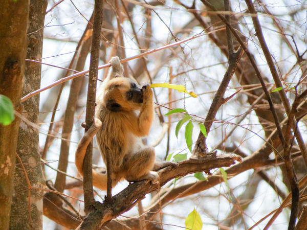 Brazilian howler monkeys are known to carry yellow fever — and can die of the disease.