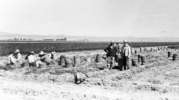 Many of the Japanese Americans incarcerated at Tule Lake had been farmers before the war. At camp, they were employed as field workers, often for $12 a month. Here, incarcerees work in a carrot field.