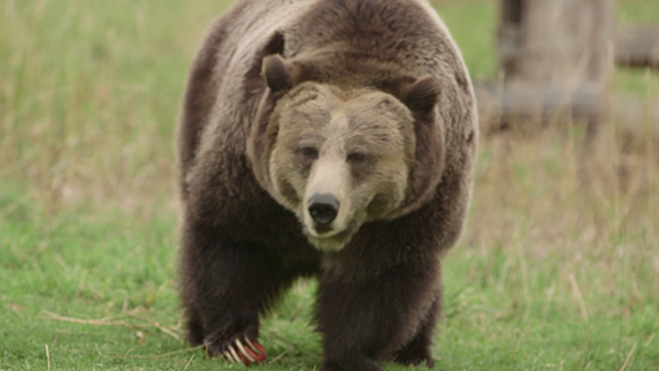 <p>A captive grizzly bear at Washington State University's Bear Center. Before hibernating, grizzly bears can put on 10 pounds a day.</p>
