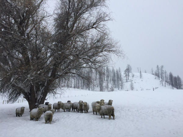 <p>About 16 pregnant ewes lounge beneath a lone tree on McFarland Creek Lamb Ranch in Methow, Washington.</p>
