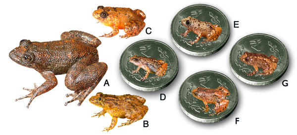 Seven new species discovered in India's Western Ghats. <strong>A.</strong> Radcliffe's night frog, <strong>B</strong>. Athirappilly night frog, <strong>C</strong>. Kadalar night frog, <strong>D</strong>. Sabarimala night frog, <strong>E.</strong> Vijayan's night frog, <strong>F.</strong> Manalar night frog, <strong>G.</strong> Robin Moore's night frog.