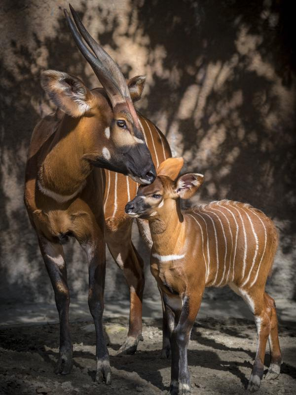 The baby bongo is about 2 feet tall and about 55 pounds. Its mother is about 500 pounds.