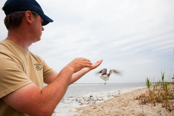 Bird projects like this one in Delaware indicate the number of red knots passing through has dropped by 75 percent since the 1980s.