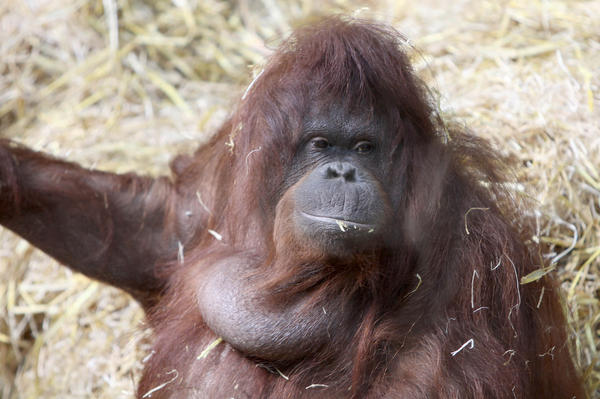 Tilda the orangutan, relaxing between gabfests at the Cologne Zoo.
