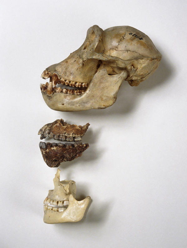 <strong>Nom Nom: </strong>Chimpanzee skull (top), <em>A. afarensis</em> jaws (center) and human jaws. It's likely that tool use and meat-eating reduced the evolutionary pressure to have big, powerful jaws and sharp teeth, the researchers behind a new <em>Nature</em> study say.